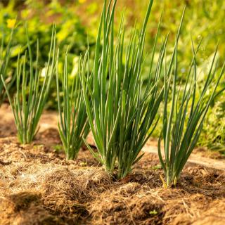 Onions sprouting along a row under a thick layer of mulch.