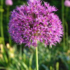 Ornamental onion, a very ornamental perennial