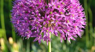 A beautiful single ornamental onion bloom like a purple firework.