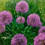 A whole flowerbed full of blooming ornamental onion.