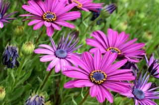 Violet osteospermum with some flowers barely unfurling their petals.