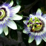 Two passion flowers with leaves in the background.