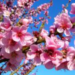 A well-cared for peach tree in full bloom.