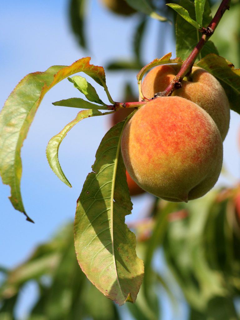 Peach tree, growing delicious peaches