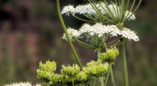 Aniseed plant flower umbels.