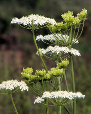 Aniseed, a delicious seed to crunch on after meals