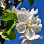 Close-up of a white apple tree flower.