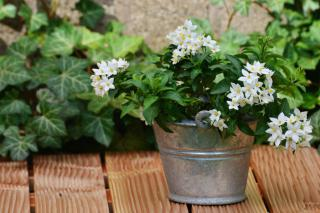 Flowered potato vine branches in a pail on a terrace.