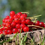 A few sprigs of ripe red currant set on a tree stump.