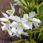 Potato vine flower with variegated leaves.
