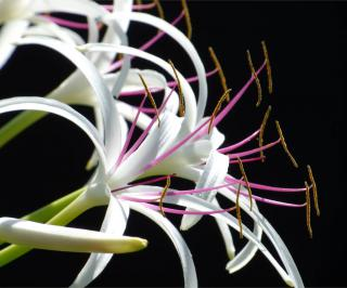 White spider lily with pink and orange stamens with a black background.