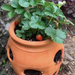 Strawberry potted in a terra cotta jar with multiple openings.