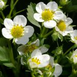 Flowers of the strawberry plant are white with yellow centers.