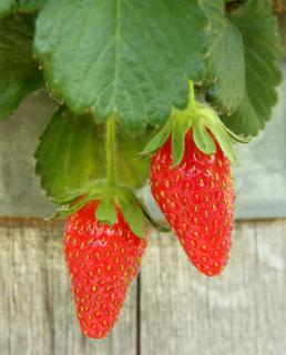Two long strawberries hanging from a wooden cask.