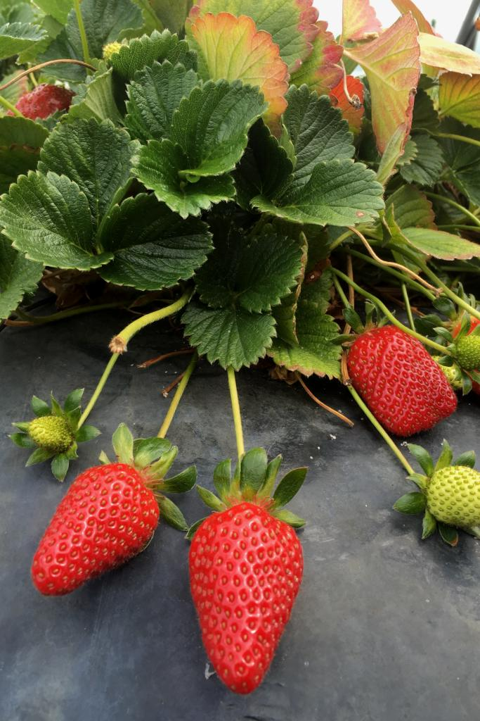 Strawberry plant with leaves and three fruits resting on a protective piece of slate.