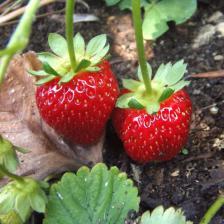 Tasty strawberries