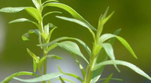 Tarragon is one of several plants that help treat bloating.