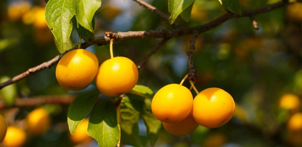 Mirabelle plums on a branch