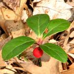 A seedling of American wintergreen already bears a berry in heath soil.