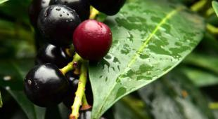 Leaves and berry fruits of the common laurel hedge shrub.