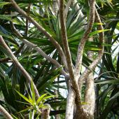 Dracaena marginata in the wild, a journey to the dragon's lair