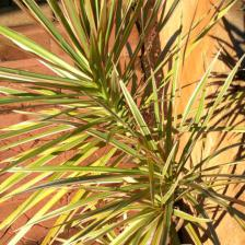 Dracaena marginata, the drought-resistant dragon plant