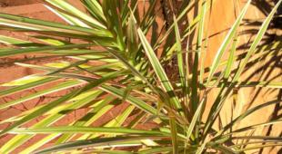 How to water dracaena marginata under full sun depends on container size and air moisture.