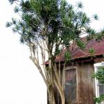Dracaena marginata taller than a house