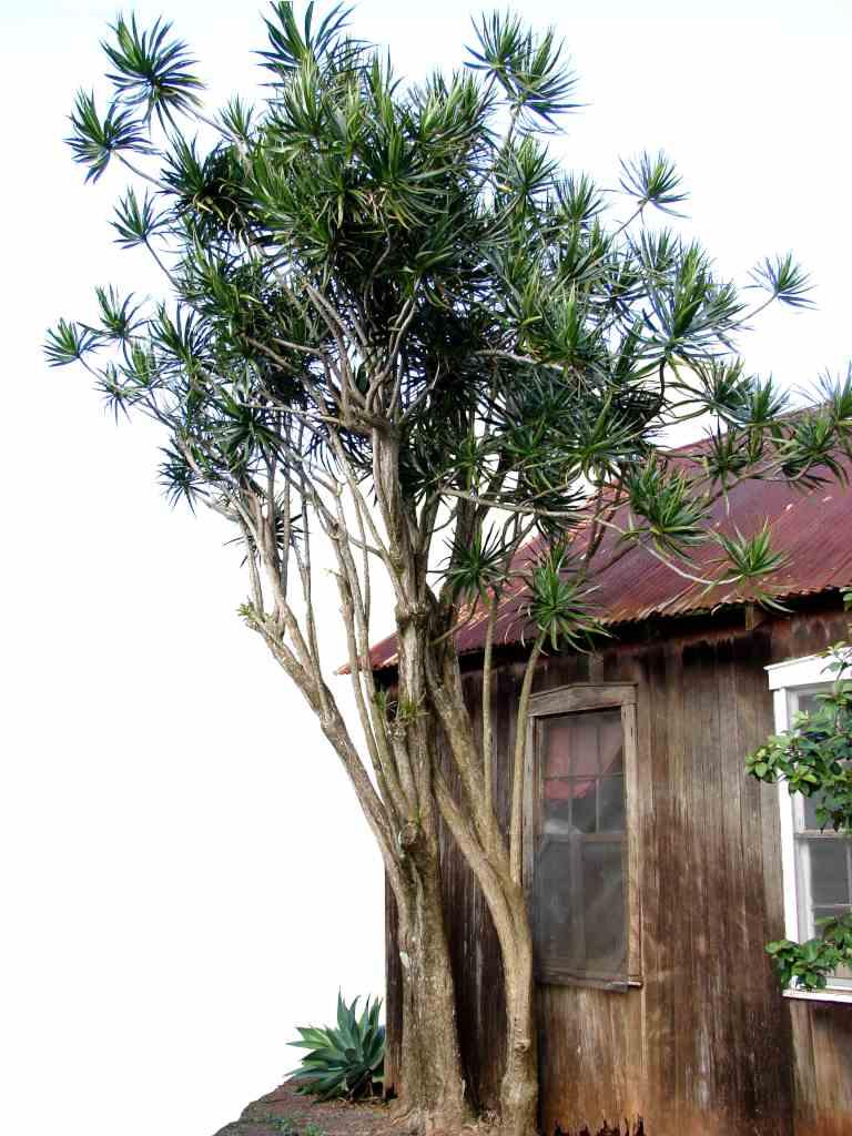 Dracaena Marginata Taller Than A House