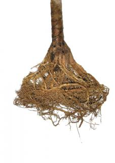 Dense roots weave out of the stem of a dracaena marginata dragon plant