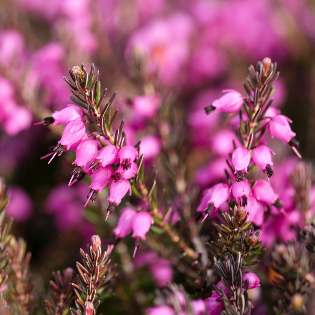 Close-up of a healthy heath plant well planted.