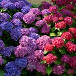 Blue to pink through violet hydrangea shrub.