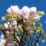 Magnolia with pink flowers against blue sky.