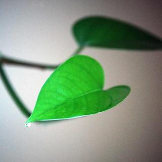 Two small philodendron leaves with a drop of guttation on one of them.