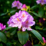 Pastel pink blooms against large deep green rhododendron leaves.