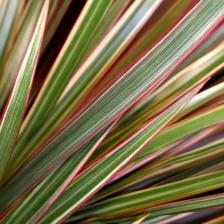 Dracaena marginata bicolor, an elegant houseplant