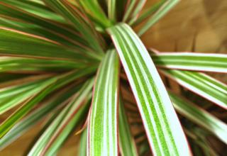A close up of a Dracaena marginata bicolor leaf with thin red margins and several bands of yellow.
