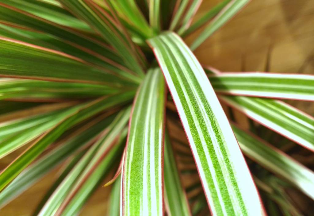 Dracaena marginata bicolor – ruby, emerald and ivory jewel ... on red bonsai plant, red fittonia plant, red draceane, red dieffenbachia plant, red zinnia plant, cordyline plant, red pothos plant, red calibrachoa plant, red spathiphyllum plant, red ferns plant, red peperomia plant, red caladium plant, red echeveria plant, red dracaena marginata, red edged dracaena, red aphelandra plant, red clivia plant, red sedum plant, red begonia plant, red sansevieria plant,