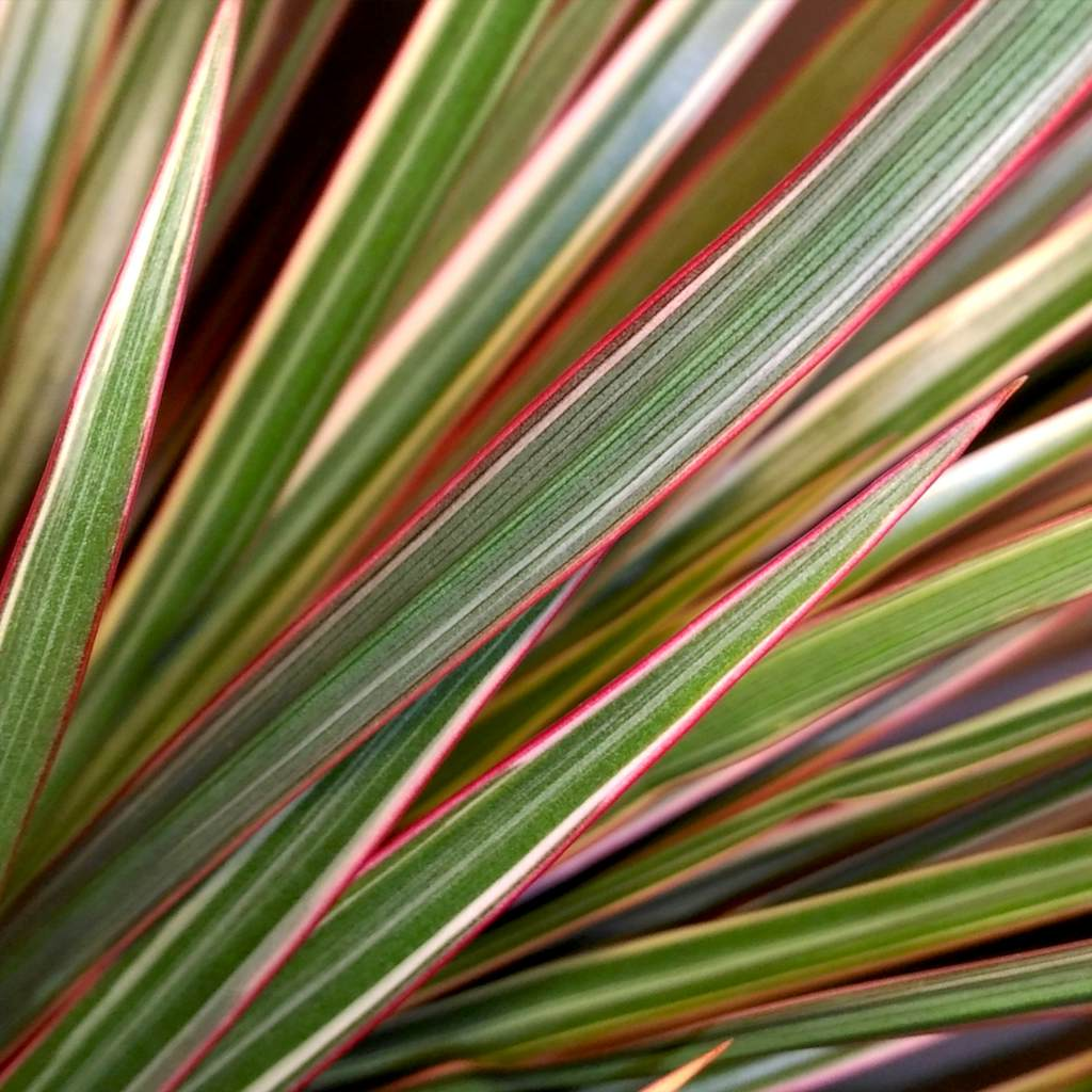 Dracaena marginata bicolor, a crown of ruby, emerald and ivory jewels
