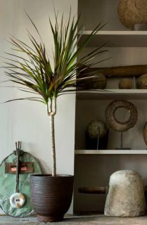 Dracaena marginata with background of ethnic African objects.