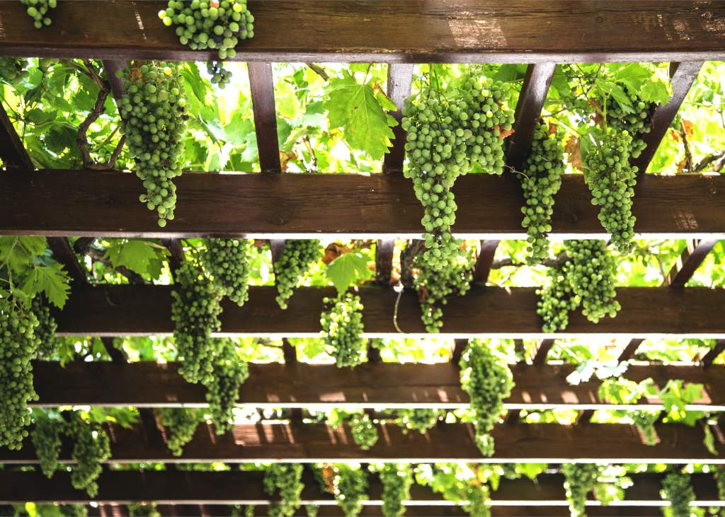 Pergola decorated with ornamental grapevine bearing green fruits in abundance.