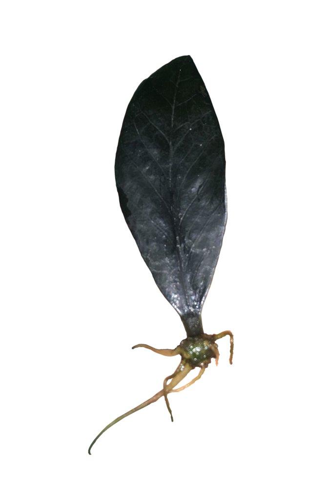 Zz Plant Propagation Leaves