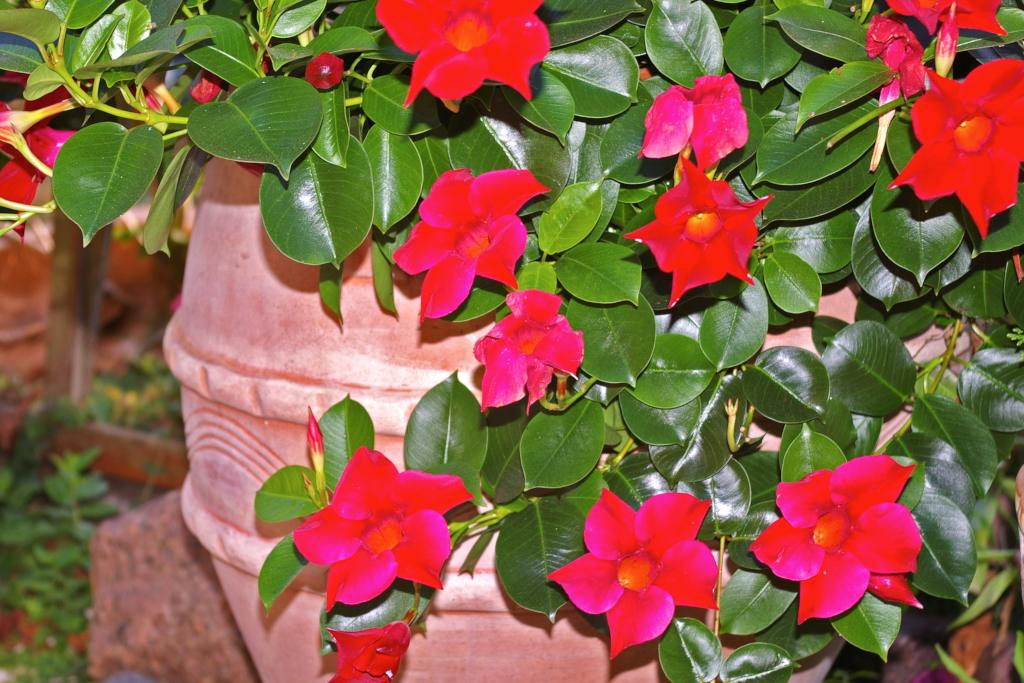 Dipladenia Beautiful Trumpet Blooms For Suspensions And Shrub Pots