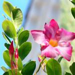 White-pink dipladenia flower with oval green leaves to the side.