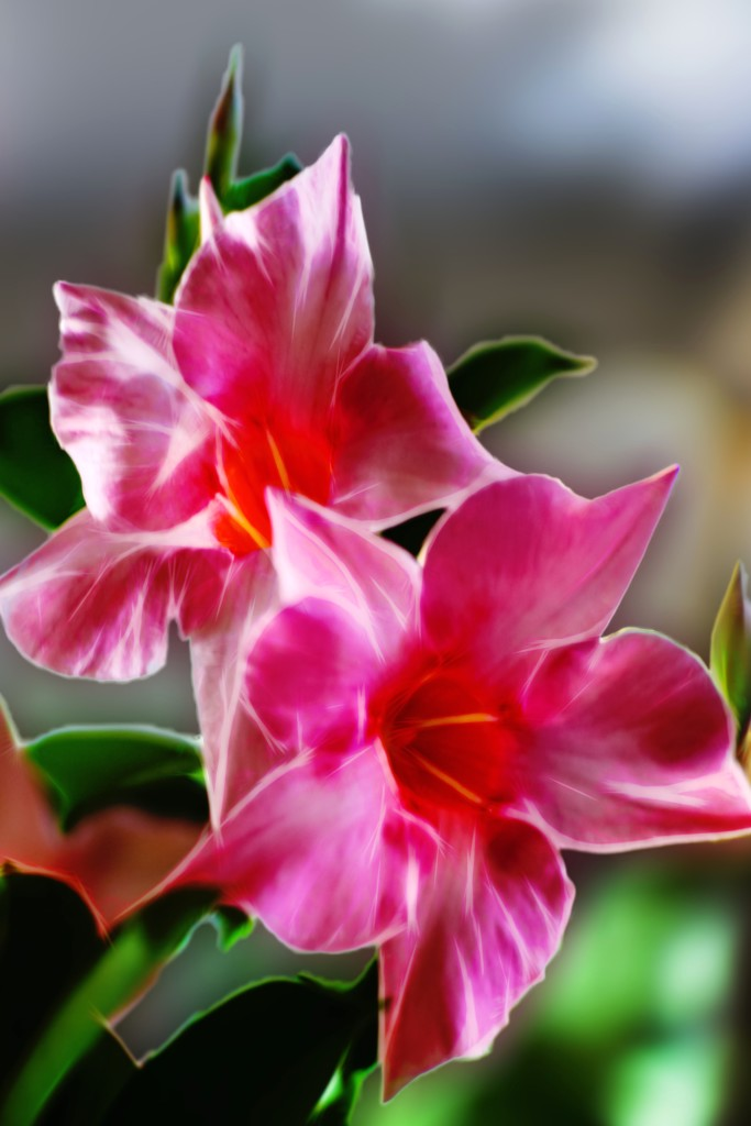 Pink and white dipladenia flowers.