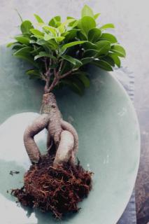 An unearthed Ficus microcarpa plant with grafted trunk.