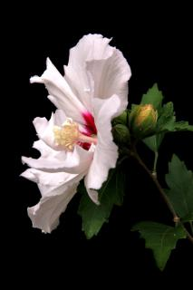 White double flowered Hibiscus syriacyus bloom against a pitch black background.