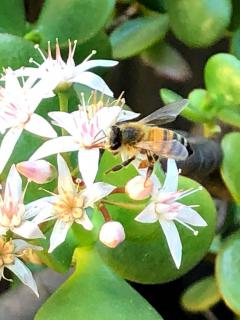 Flower jade tree with pollinating bee visitor