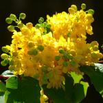 Winter-blooming mahonia