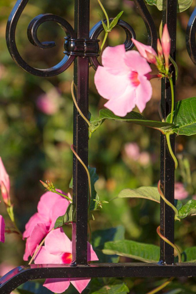 Pink mandevilla vine twining up a black wrought iron fence.